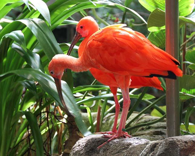 skarlat-ibisz
