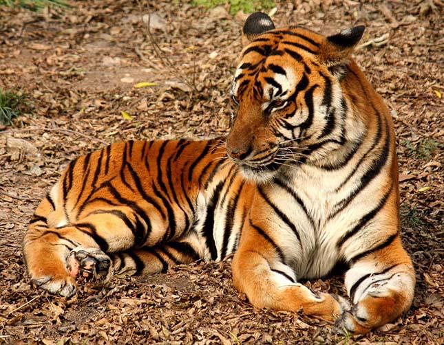 tigris-2