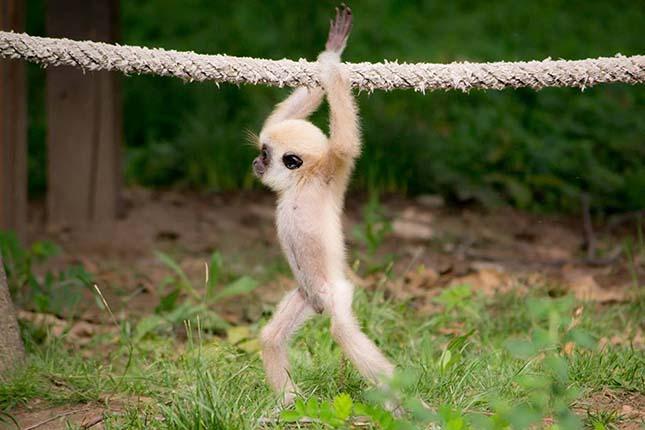 gibbon-4