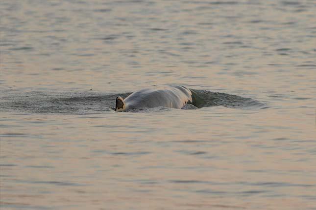 kuposfeju-delfin-5