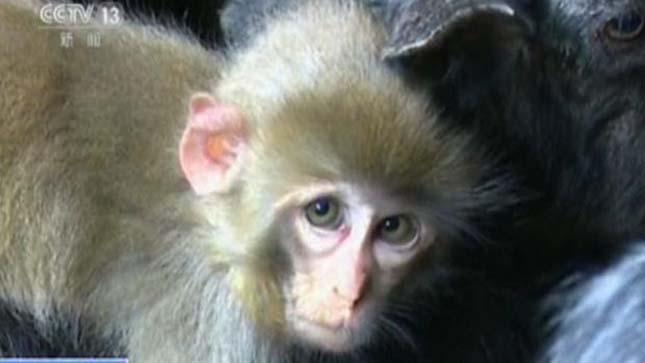 majom-es-kecskek-3