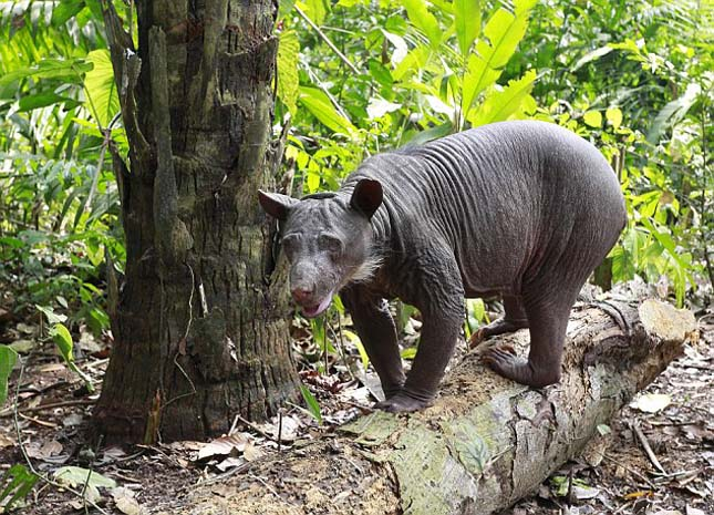 Cholita the Peruvian Adean bear Finally in her new enclosure in the amazon rain forest on wildlife reserve at Taricaya ecological reserve  Picture Chris Bott
