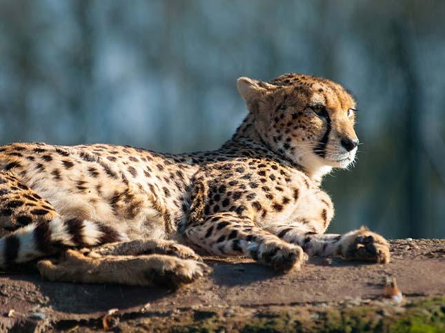 gepard-4