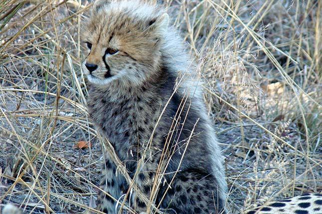 gepard-6