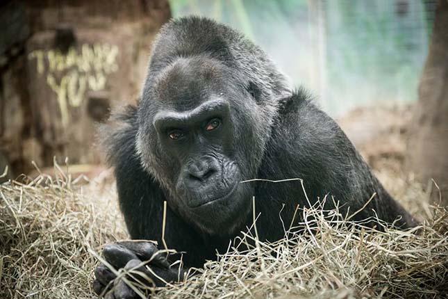 gorilla-2