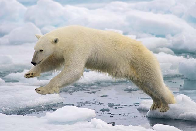 Frame-filling portrait of a young Polar Bear male jumping in the
