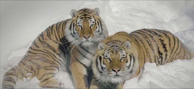 tigrisek-2
