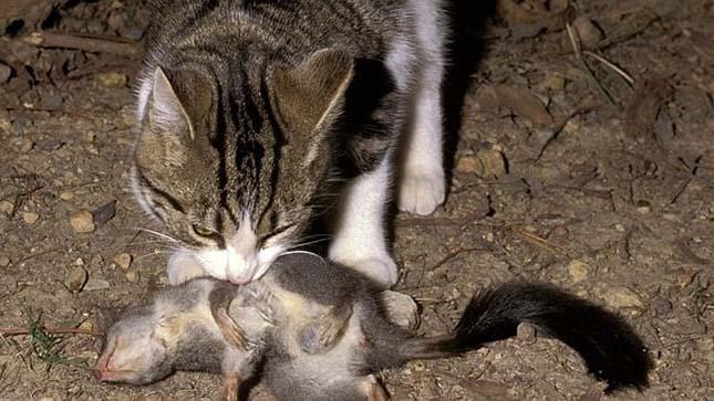 elvadult-macska