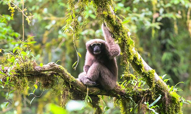 gibbon-3