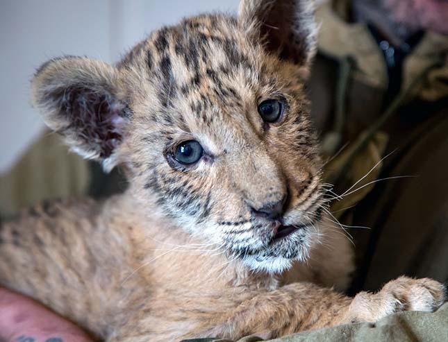 liger-2