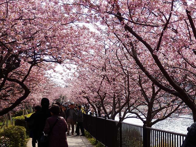 cseresznyeviragzas