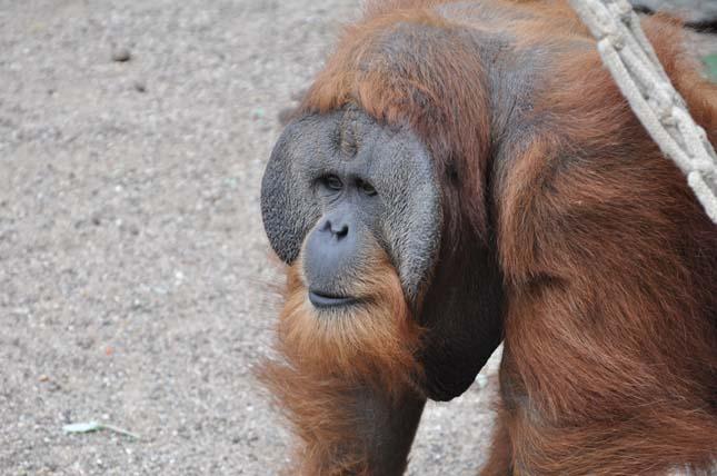 orangutan-1