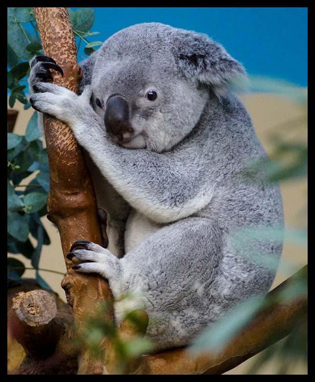 koalak-3