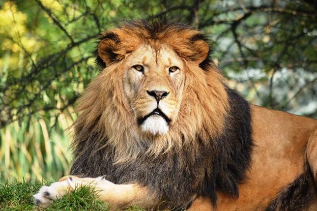 A berber oroszlán