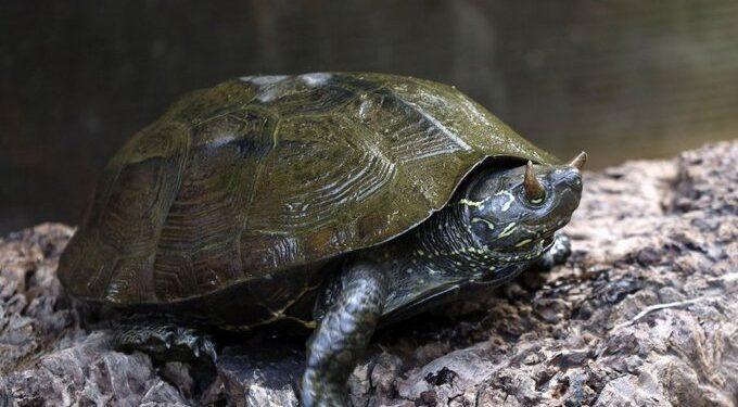 Szarvacskákat visel mindkét szemhéján egy kínai háromélű teknős