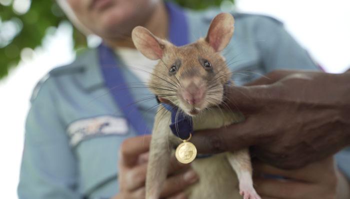 kitüntetett patkány